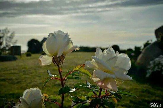 Hotel Semaforo de Bares: Rosas blancas del jardin