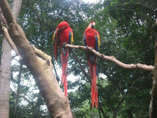 Macaw Mountain Bird Park & Nature Reserve : Macaws (not captive)