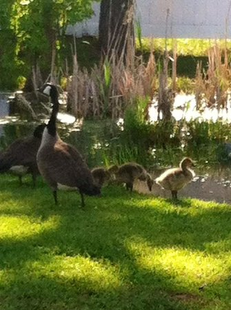 Francis Scott Key Family Resort : The Geese with their babies.. So adorable!