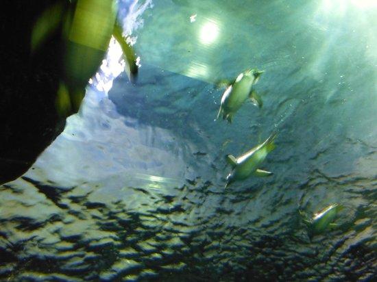 Aquas: しまね海洋館 アクアス(ペンギン屋内水槽:頭上)