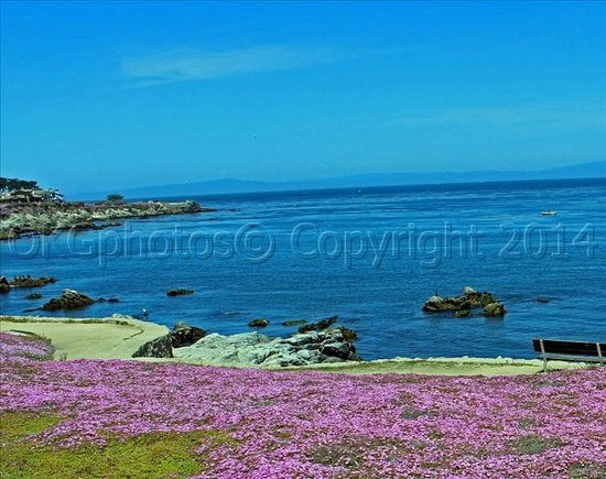 Monarch Resort : May - blooming iceplant (PINKS)!