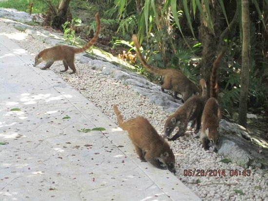 Valentin Imperial Riviera Maya: Lemurs all around.  Harmless and adorable