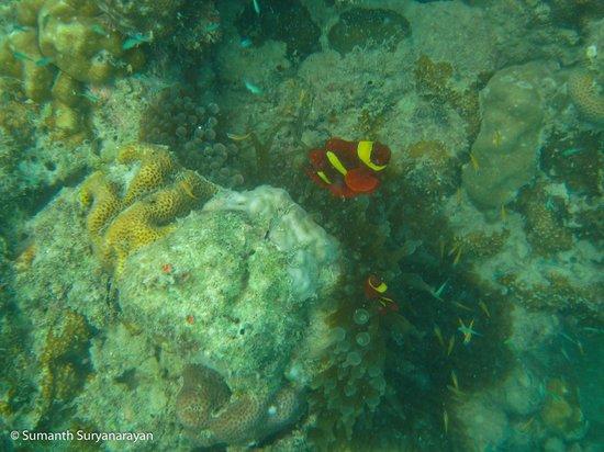 Andaman Bubbles: Clown Fish