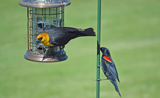 Malheur National Wildlife Refuge : Yellow Headed and Red Winged Blackbird at the Refuge Visitor Center