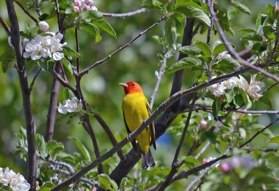 Western Tanager at the Refuge Visitor Center - Picture of