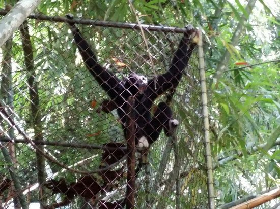 Gibbon Rehabilitation Project: The gibbons are housed in cages through the rehabilitation process, but it's heartwarming to kno