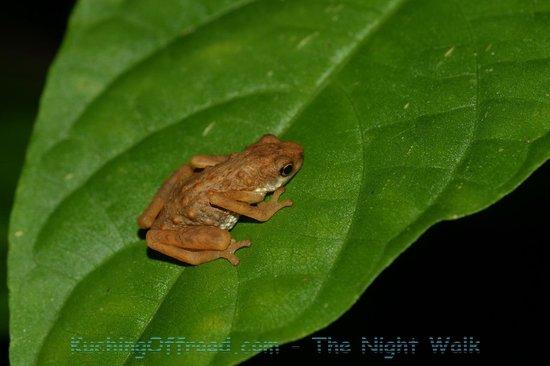 Kuching Offroad - Day Tours : Frog seen on Night Walk