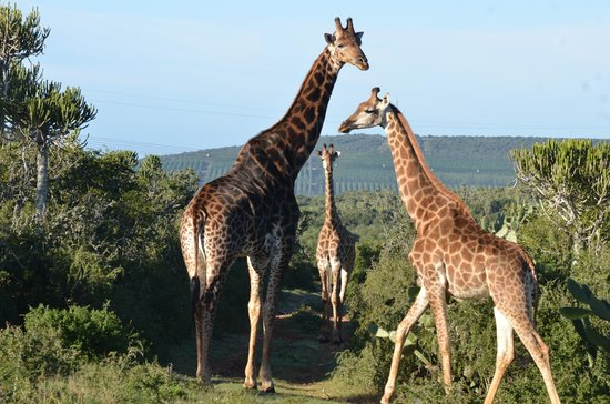 River Bend Lodge: Breakfast with the giraffes