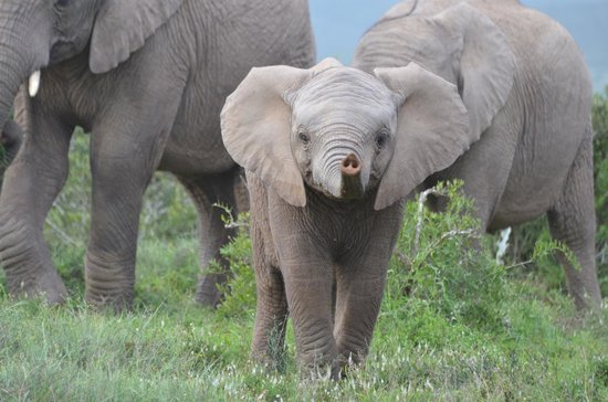River Bend Lodge: Cheeky baby elephant with attitude