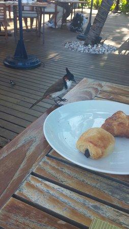 Sands Suites Resort & Spa: Les oiseaux au petit déjeuner essayent de vous le piquer en tout bien tout honneur.