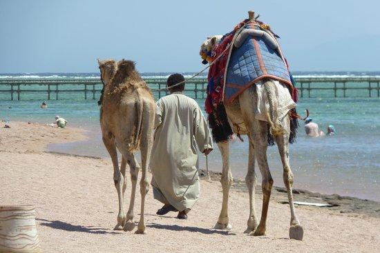 Jaz Mirabel Club: Корабли пустыни