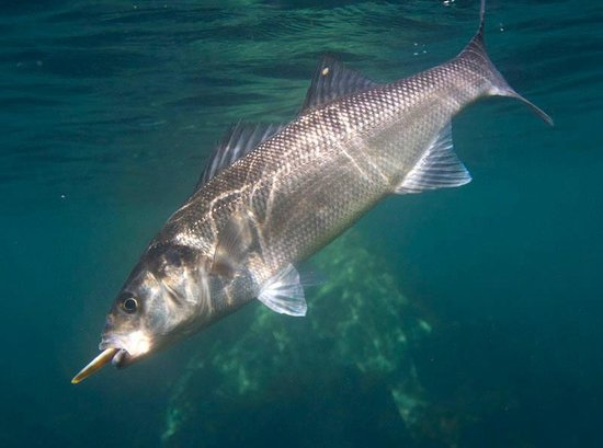 Pembroke, UK: An underwater shot of a lure caught bass.
