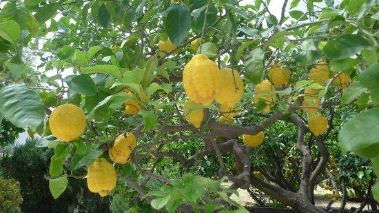 Albergo Brasile: Les citrons