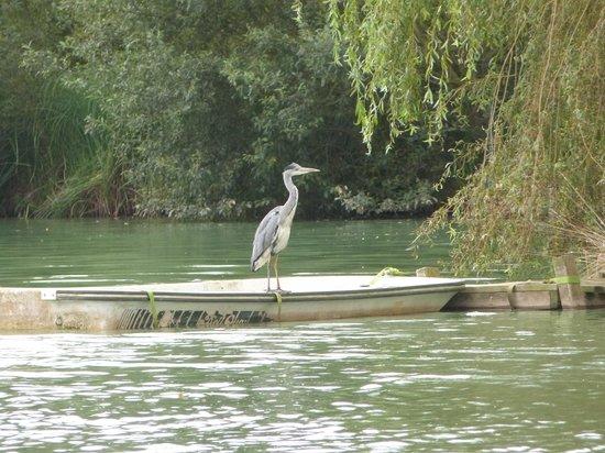 Yellowtop Country Park: Heron-regular visitor!