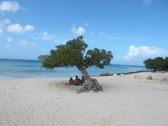 Eagle Beach: Знаменитое дерево