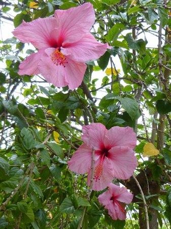 La Concepcion Jardin Botanico Historico de Malaga: Hibiscus trees