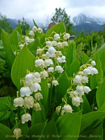 Hotel Koppeleck : Just outside the restaurant ... one of my favourite flowers .. Lily of the Valley .