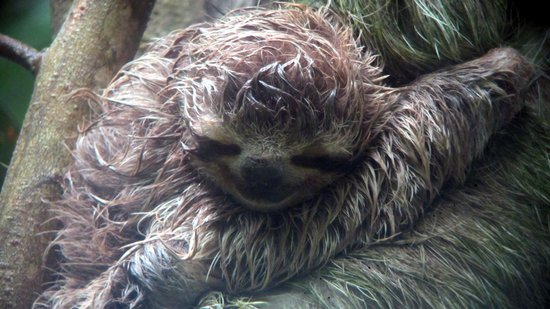 Tukan Tours: Baby 3 toed sloth