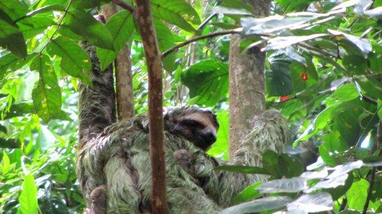 Tukan Tours: Mama sloth