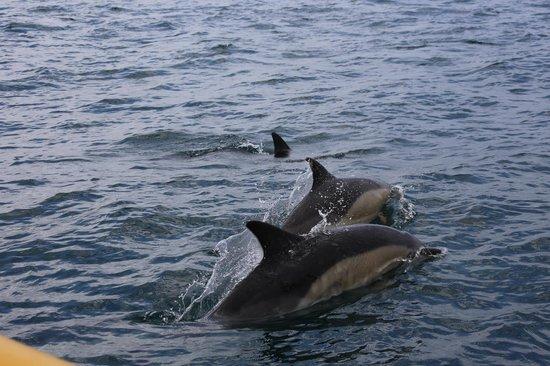 Baltimore Sea Safari : common dolphins