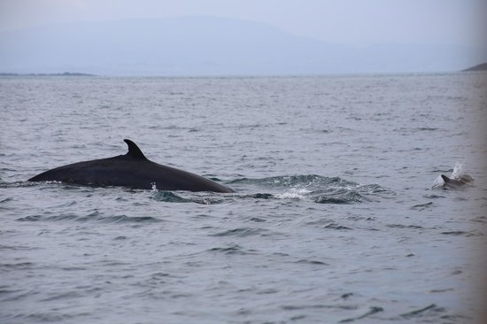 Baltimore Sea Safari : minke whale