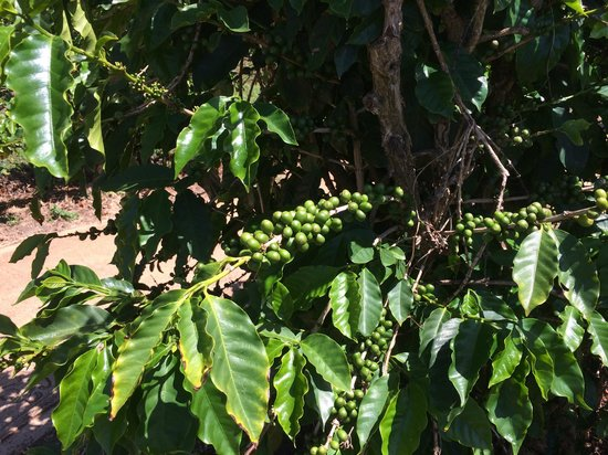 Kauai Coffee Company: Coffee beans ...