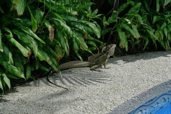 Hotel Playa Espadilla: iguana by the pool