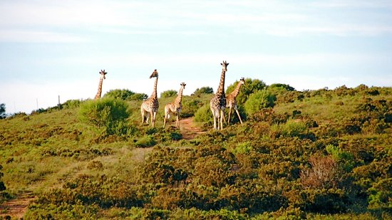 Nyaru Private Game Lodge: Giraffes