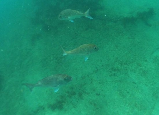 Goat Island Marine Reserve: Snappers!