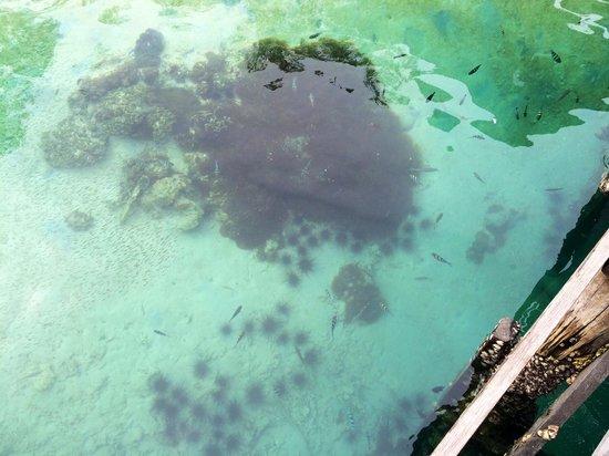 Manukan Island: Lots of clown fish