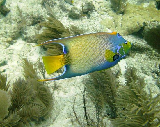 Scuba-Do Dive Company: Queen Angelfish at Garden of Eden
