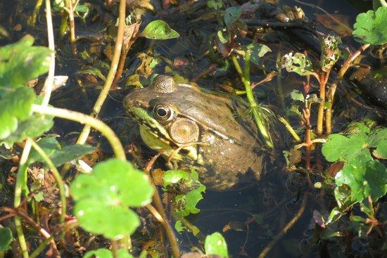 Huntley Meadows Park: Frog