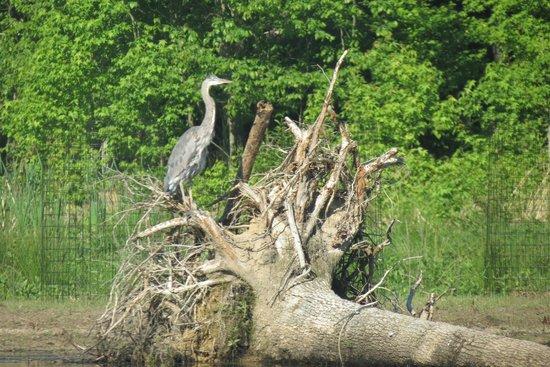 Huntley Meadows Park: Heron