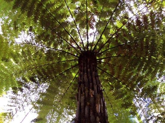 Redwoods, Whakarewarewa Forest : Fern