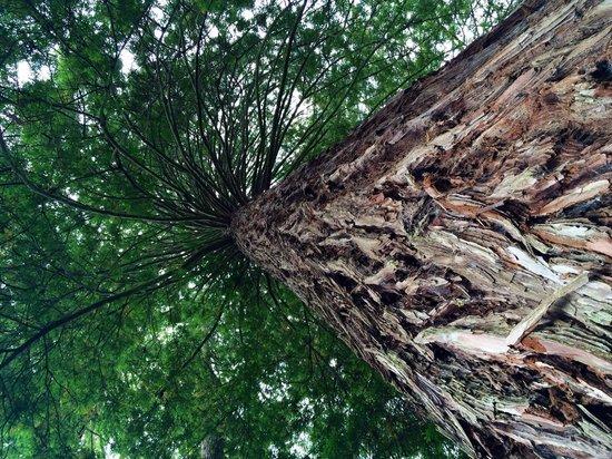 Redwoods, Whakarewarewa Forest: Amazing trees