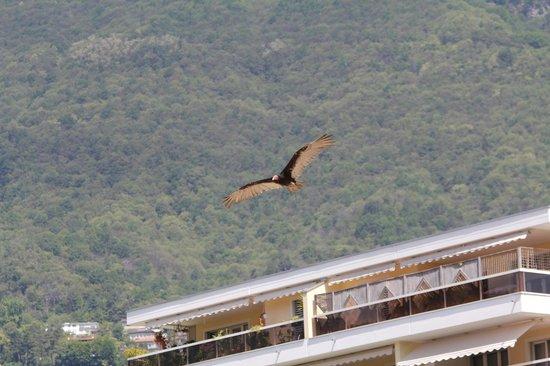 Falconeria Locarno: avvoltoio