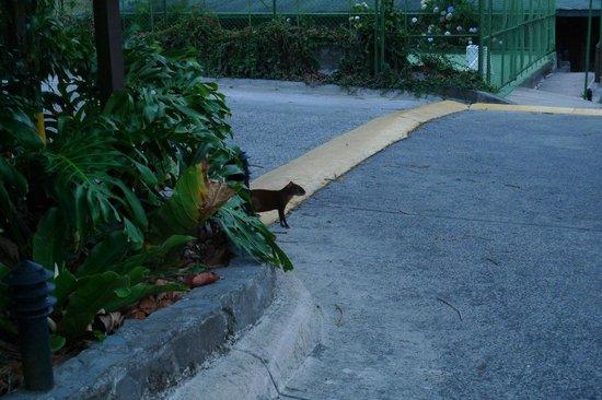 El Establo: Agouti spotted in the gardens