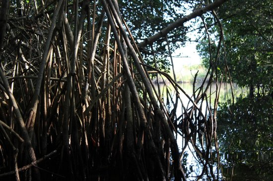 Tour The Glades - Private Wildlife Tours : On the edge of an opening from the mangrove caves