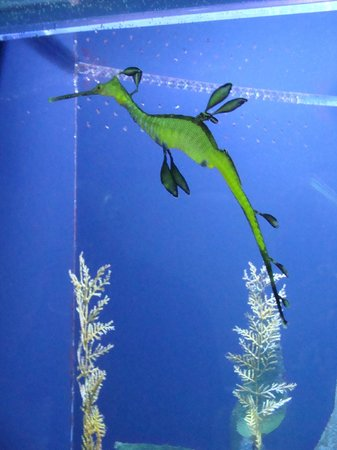 Moody Gardens: Dragon seahorse