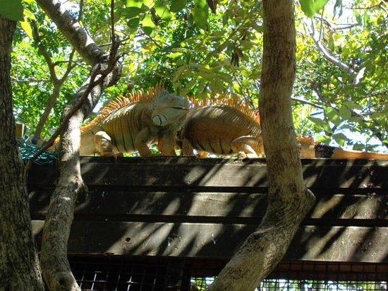 Roatan Backpackers' Hostel: Iguana farm