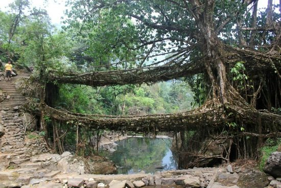 Double Decker Living Root Bridge: main double decker bridge