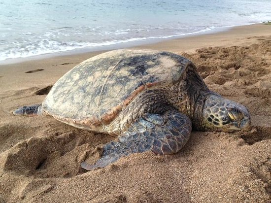 Royal Kahana: A turtle we discovered on the beach right outside the hotel