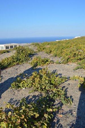 Santorini Wine Tour : Vineyard - nothing like you'd expect!