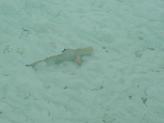 Anantara Kihavah Maldives Villas : Baby Black Tip Reef sharks were all over the this time! Incredible and healthy reef system.