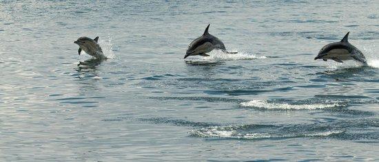 Sea Life Surveys : Dolphins in flight