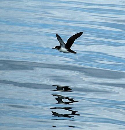 Sea Life Surveys : Manx Shearwater
