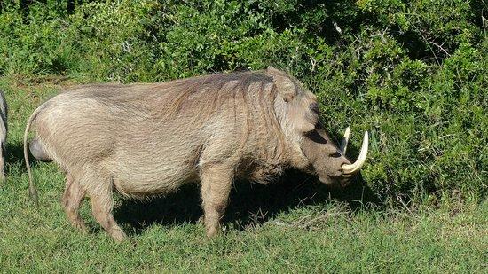 Addo Elephant National Park: Warthog