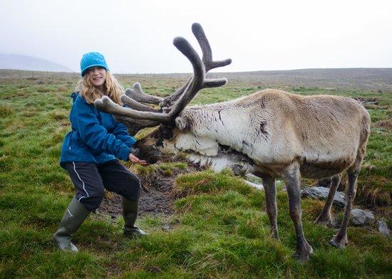 Cairngorm Reindeer Herd: Reindeer feeding
