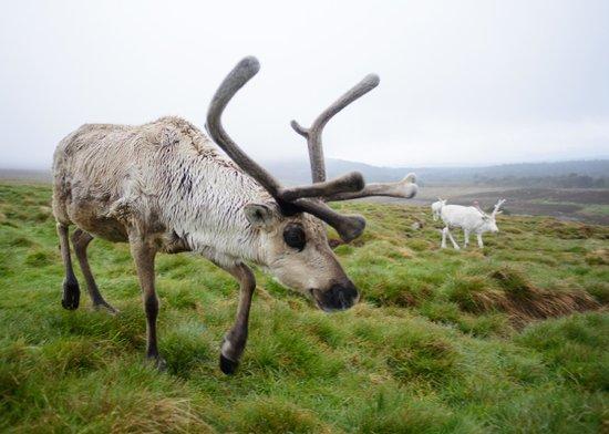 Cairngorm Reindeer Herd: Reindeer at the Aviemore Reindeer Experience