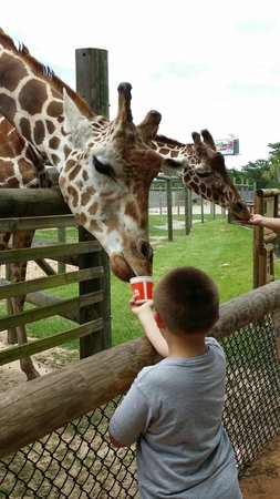 The Gulf Breeze ZOO : My son feeding the giraffe